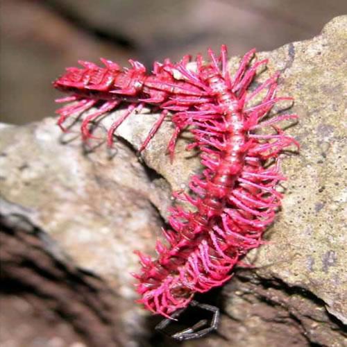 dragon_millipede