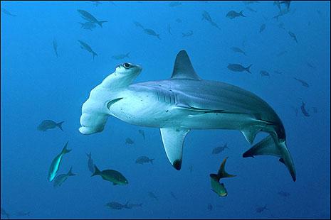 scalloped_hammerhead_shark_465x310