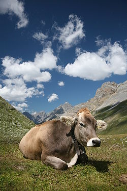 250px-CH_cow_2