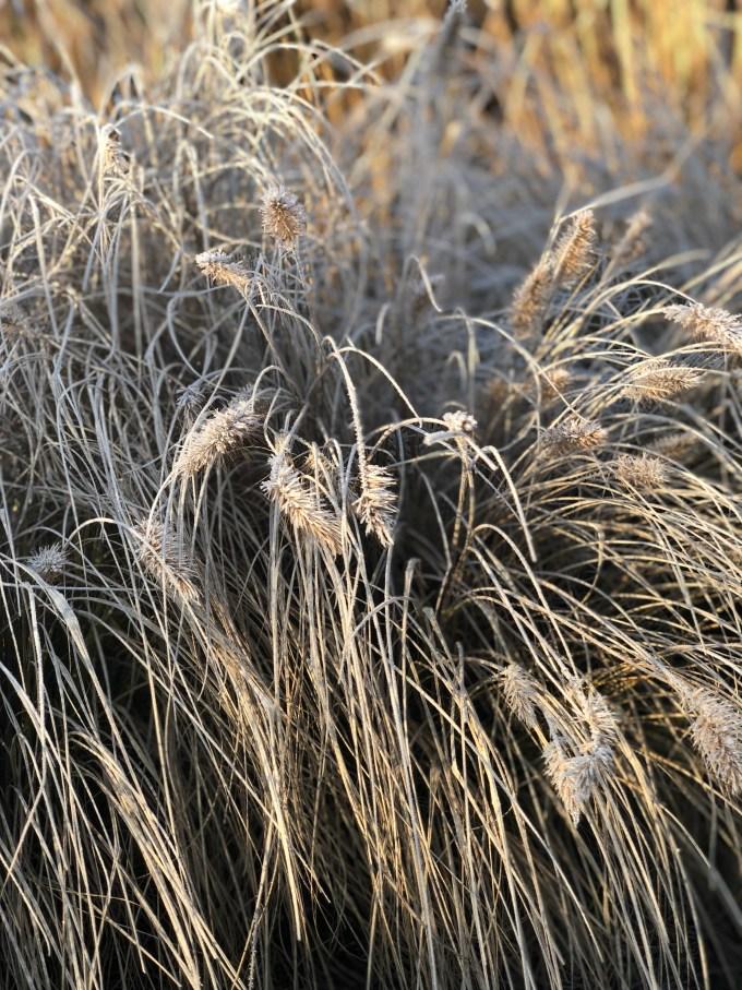 Frost effect Pennisetum 'Hameln'
