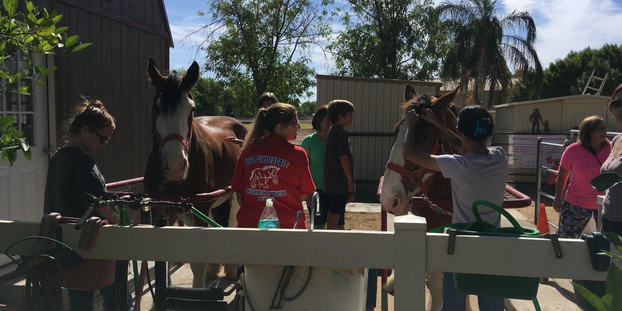 Volunteer in Gilbert, AZ – Bathe a Clydesdale Horse