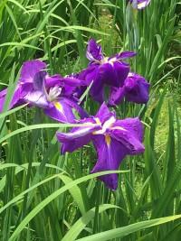 Japanese Iris, Best Living Japan