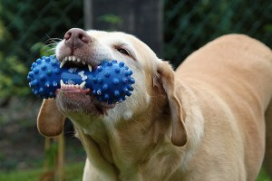 Dog chewing on his toy