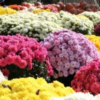 sea of colorful fall mums for sale at a market