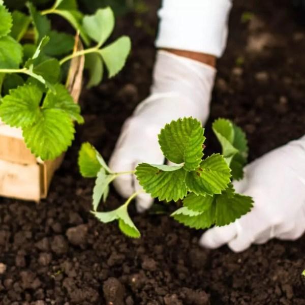 cover crops, garden