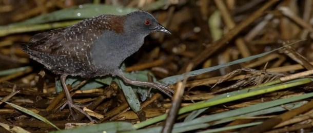 Black Rail Endangered Animals in New Jersey
