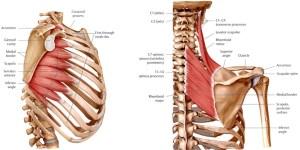 serratus-anterior-rhomboids-and-levator-scapulae3