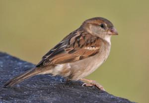 House Sparrow (image courtesy-commons.wikimedia.org)