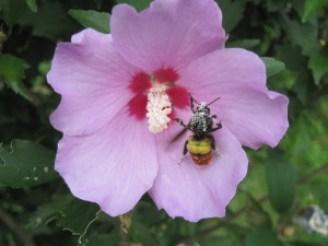 A bee enveloped in a flower