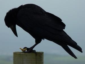Raven (pixabay.com)