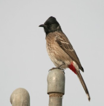 Red vented Bulbul (Img. courtesy- wikipedia)