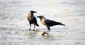 Two crows (Image courtesy- pdpics.com)