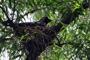 Indian Crow (Image courtesy- pixabay.com)