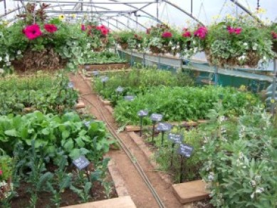 home-grown-produce-in-battlesteads-polytunnel (Image courtesy- visitnorththumberland.com)