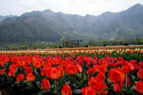 Landscape Srinagar -Tulips in Bloom, Srinagar (Photo Courtesy – Gowhar Butt)