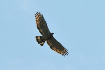 Raptor watch week Image courtesy- Malaysia travel