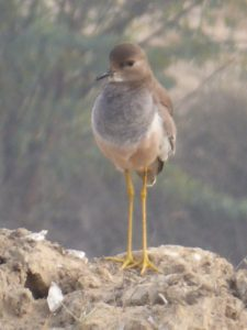 A young red winged lapwing