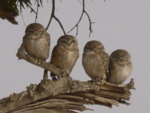 Spotted Asian Owlet, Birds of Bikaner, Rajasthan