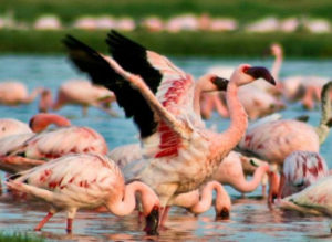 Flamingos in Gir forest-wilds in Gujarat
