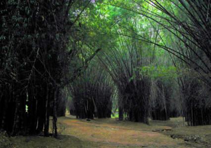 Canopy in Cubbon Park, Bangalore, Bengaluru