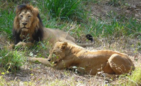 Lion Safari at Bannerghatta National Park near Mysore