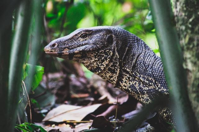 Black and beige monitor lizard, Thailand