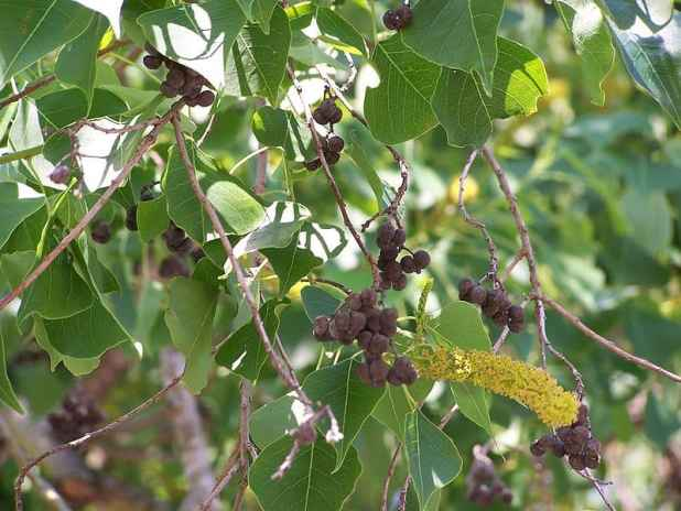 chinese-tallow-seed-pods-wikipedia-06302015