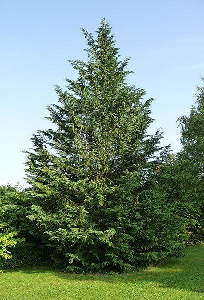 leyland-cypress-wikipedia-06302015