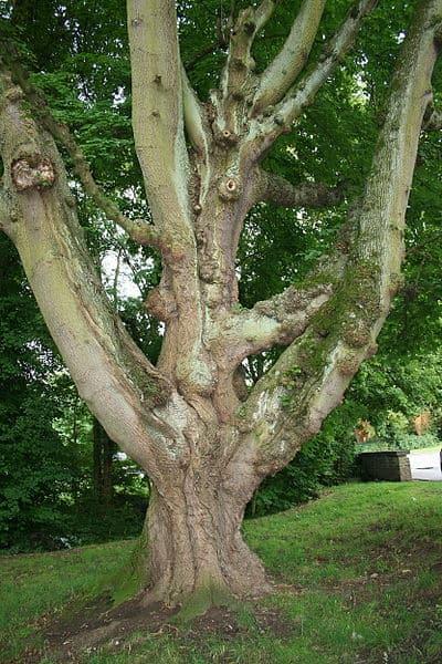 norway-maple-wikipedia-06302015