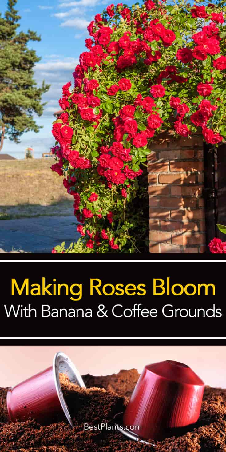 Are Coffee Grounds Good For Roses And Bananas Too