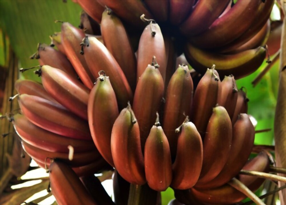How Does Red Banana Help Relieve Hemorrhoids