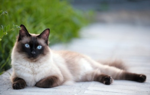 The Personality Secrets Behind The Siamese Cat