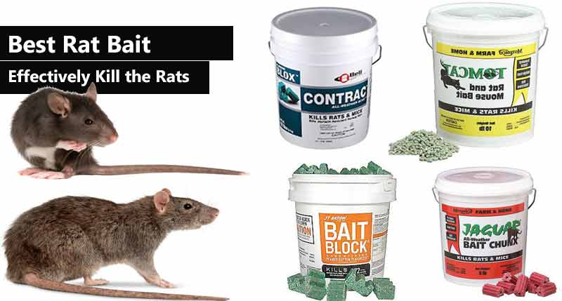 Best Rat Bait