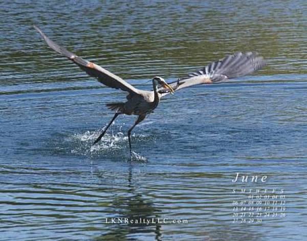 Lake Norman Heron photo