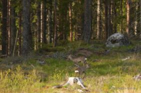 Deers in a clearing
