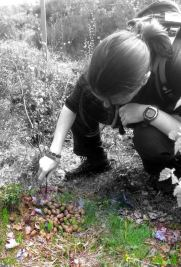 Counting moose dung!