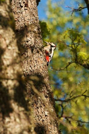 Woodpecker feeding itself on a tree in the early morning light