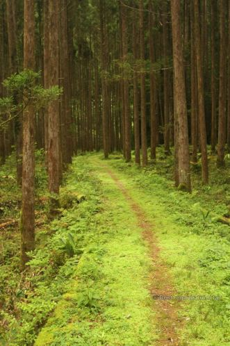 Cedar tree forest along the Kaeda valley hike