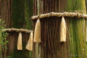Sacred cedar trees in Takachiho shrine