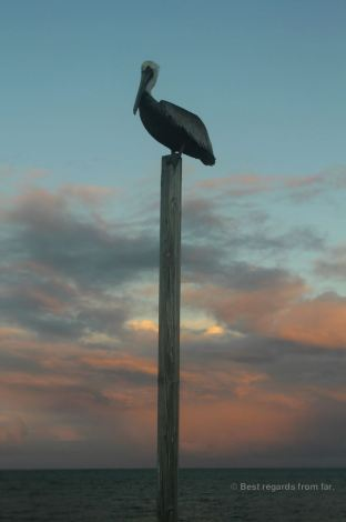 A pelican at sunset, Caye Caulker, Belize