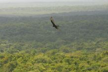 An eagle flying over the jungle in El Mirador