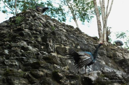 Wild peacocks climbing one of the 3 pyramid of the complex of El Tigre