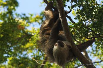 Sloth manouevring in a tree, Panama