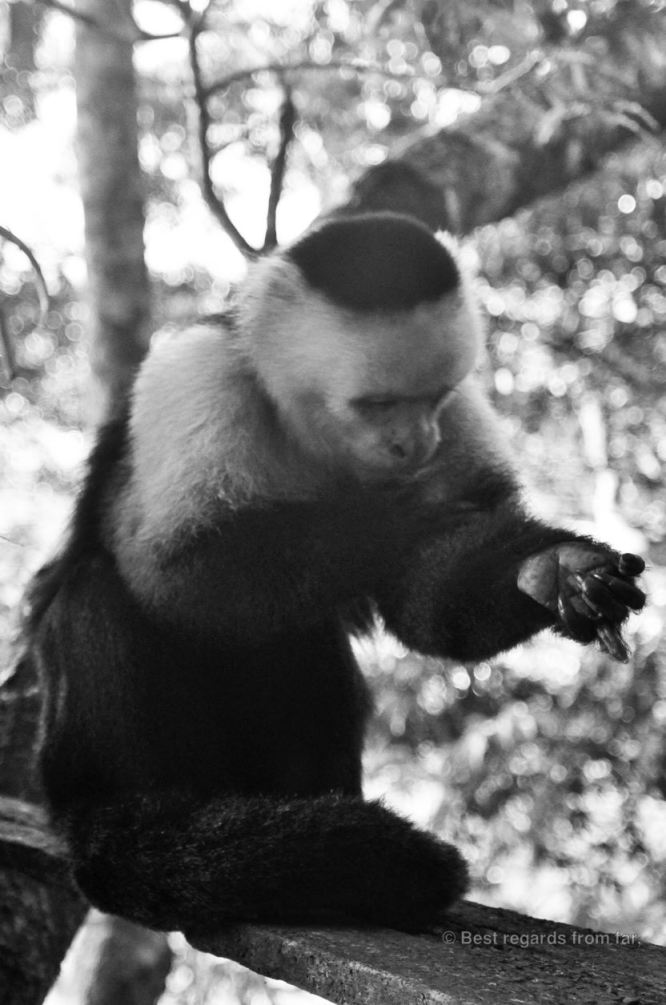 A portrait of a white-faced capuchin monkey