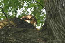 Young Red-tailed Hawk feeding on a pigeon, Tompkins Square Park, New York City