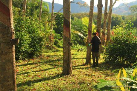 Working the rubber tree plantation, Manora Garden, Phang Nga, Thailand
