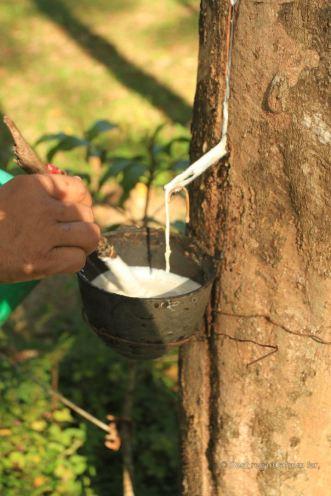 Solidifying the liquid rubber, Manora Garden, Phang Nga, Thailand