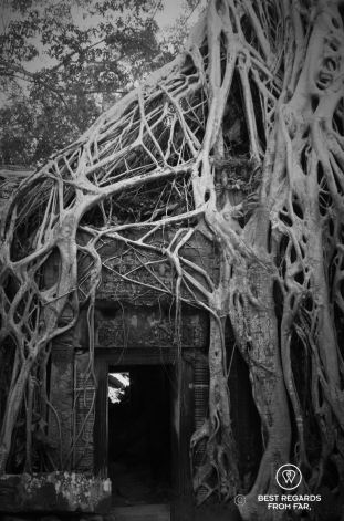The Tomb Raider tree, Ta Prohm, Angkor, Cambodia