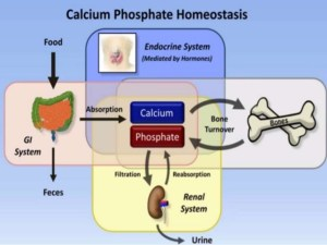 benefit of calcium & phosphorous best review star