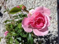 bonica-82-rose-2